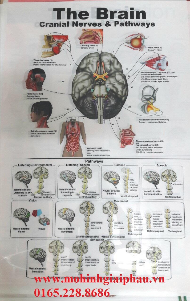 Tranh bộ não người