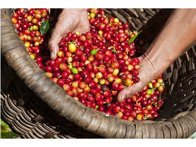 Cà phê chồn Đăk Lắk