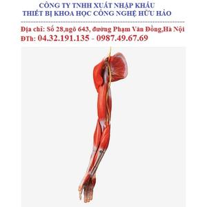 Mô hình giải phẫu hệ cơ chi trên (cơ, xương, khớp)