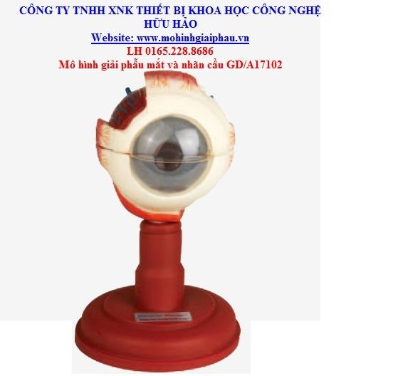 Mô hình giải phẫu mắt và nhãn cầu GD/A17102