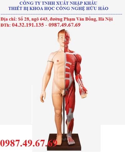Mô hình giải phẫu cơ toàn thân với các cơ quan nội tạng