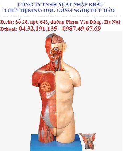 Mô hình giải phẫu thân mình