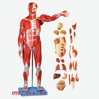 Mô hình nhóm cơ của Nam giới với cơ quan nội tạng