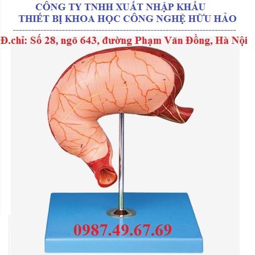 Mô hình giải phẫu dạ dày