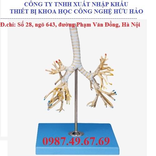 Mô hình giải phẫu cây phế quản GD/A13007