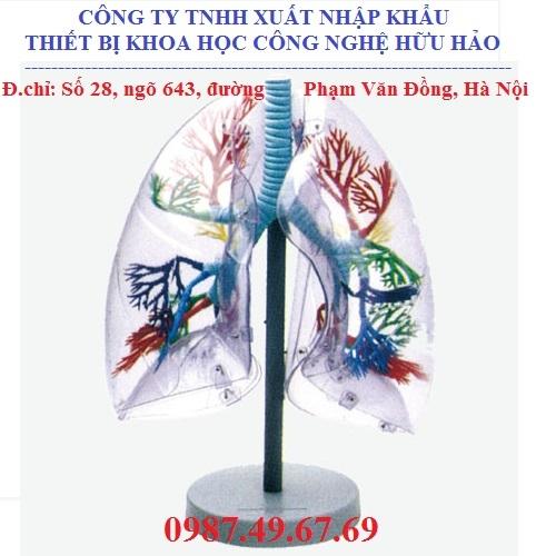 Mô hình giải phẫu phổi ở người GD/A13009