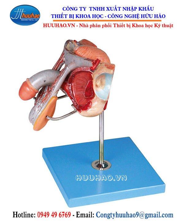 Mô hình giải phẫu cơ quan sinh dục nam