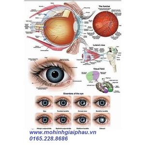 Tranh giải phẫu-sinh lý hệ thị giác