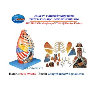 Mô hình giải phẫu khoang ngực