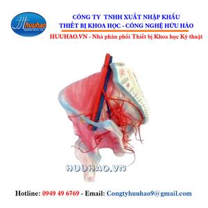 Mô hình cơ hông và các động mạch