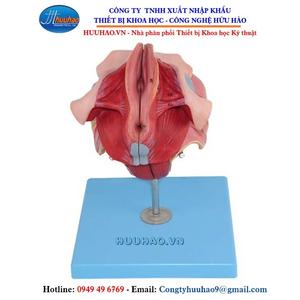 Mô hình giải phẫu cơ quan sinh dục nữ