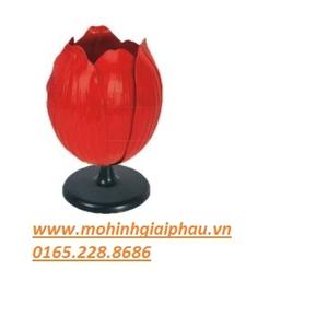 Mô hình cấu tạo hoa tulip