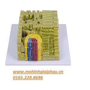 Mô hình cấu trúc lá