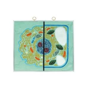 Mô hình cấu trúc tế bào động thực vật