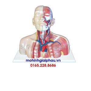 Mô hình đầu, hệ tĩnh mạch cổ và ngực