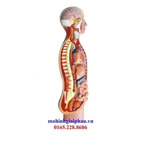 Mô hình giải phẫu hệ thần kinh tự trị.