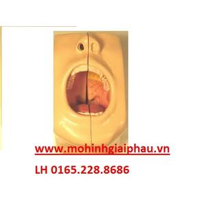 Mô hình giải phẫu khoang miệng