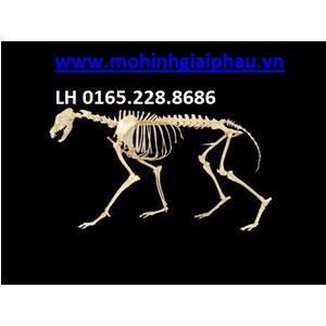 Mô hình giải phẫu xương chó