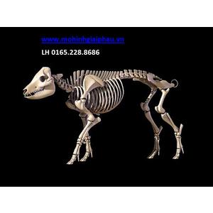 Mô hình giải phẫu xương lợn
