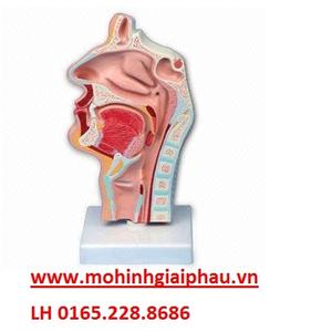 Mô hình giải phẫu khoang mũi