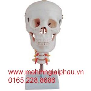 Mô hình hộp sọ với đốt sống cổ