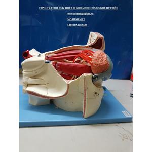 Mô hình nhãn cầu với mạch máu và dây thần kinh GD/A17105