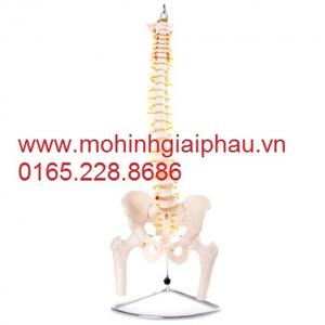 Mô hình xương cột sống, xương chậu và xương đùi