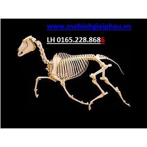 Mô hình xương ngựa