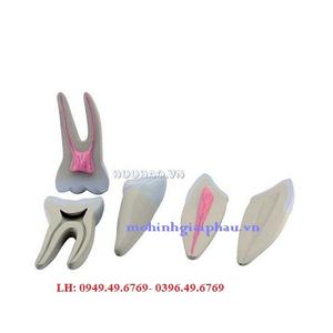 Mô hình bộ răng – GD0311 – Optika