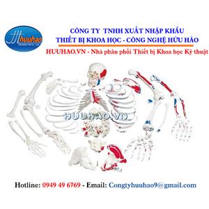 Mô hình bộ xương người có sơn phần cơ