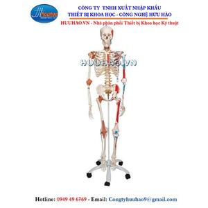 Mô hình bộ xương người gắn kết