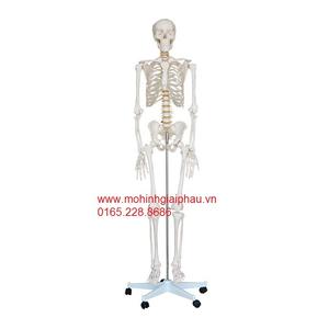 Mô hình bộ xương người trắng 42cm