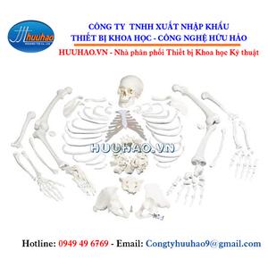 Mô hình bộ xương người trắng tháo rời
