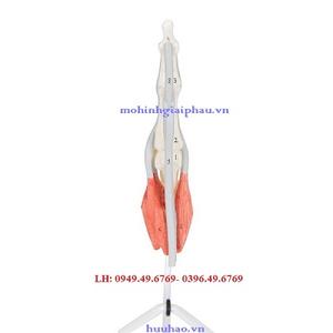 Mô hình cấu trúc ngón tay