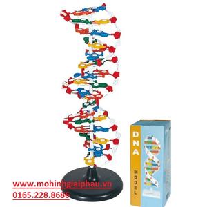 Mô hình cấu trúc phân tử DNA (ADN)
