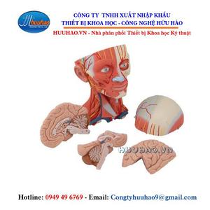 Mô hình cơ đầu và cổ - 5 phần