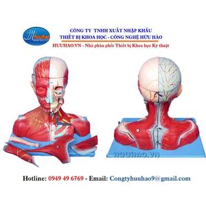 Mô hình cơ, dây thần kinh phần đầu và não