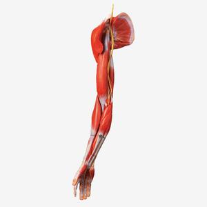 Mô hình cơ, mạch máu và thần kinh chi trên