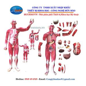 Mô hình cơ toàn thân và nội tạng tháo rời