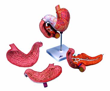 Mô hình dạ dày
