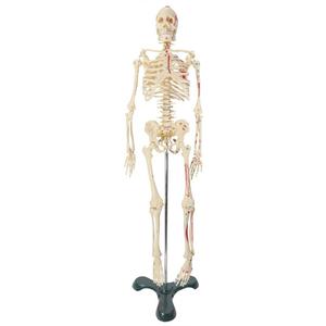 Mô hình giải phẫu bộ xương người