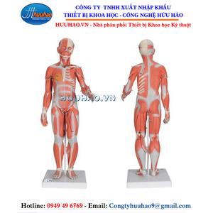 Mô hình giải phẫu cơ người (33 bộ phận)