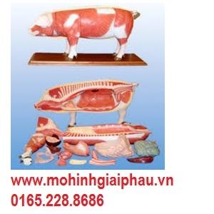 Mô hình giải phẫu cơ thể lợn SMRL20