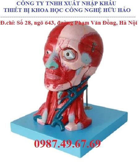 Mô hình giải phẫu đầu và cổ