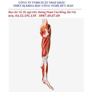Mô hình giải phẫu hệ cơ chi dưới