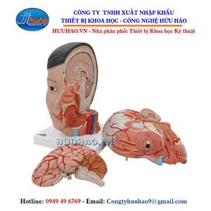 Mô hình giải phẫu hệ cơ đầu mặt cổ