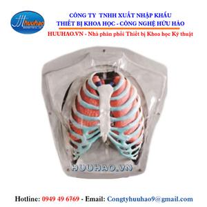 Mô hình giải phẫu hệ hô hấp