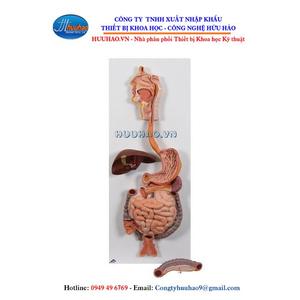 Mô hình giải phẫu hệ tiêu hóa (2 phần)