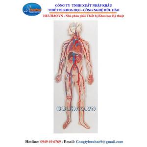 Mô hình giải phẫu hệ tuần hoàn