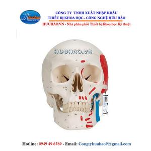 Mô hình giải phẫu não gồm 3 phần sơn màu 1 bên